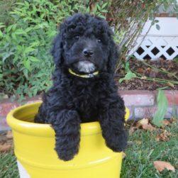 Central Coast Doodles | Doodle Puppies | (805) 459-9110 – Central