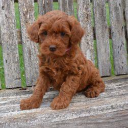 Central Coast Doodles | Doodle Puppies | (805) 459-9110
